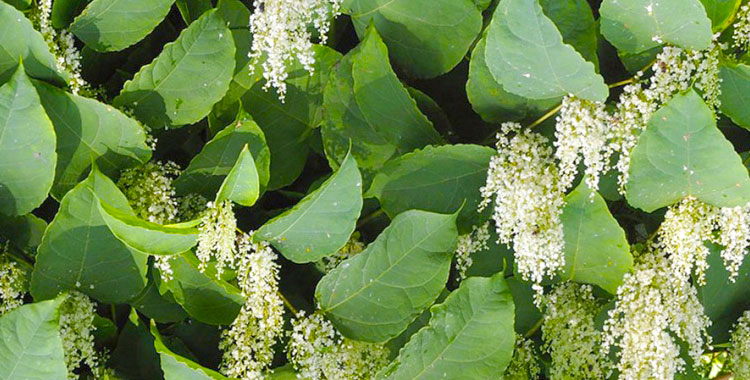Japanese Knotweed - Invasive Weed Management